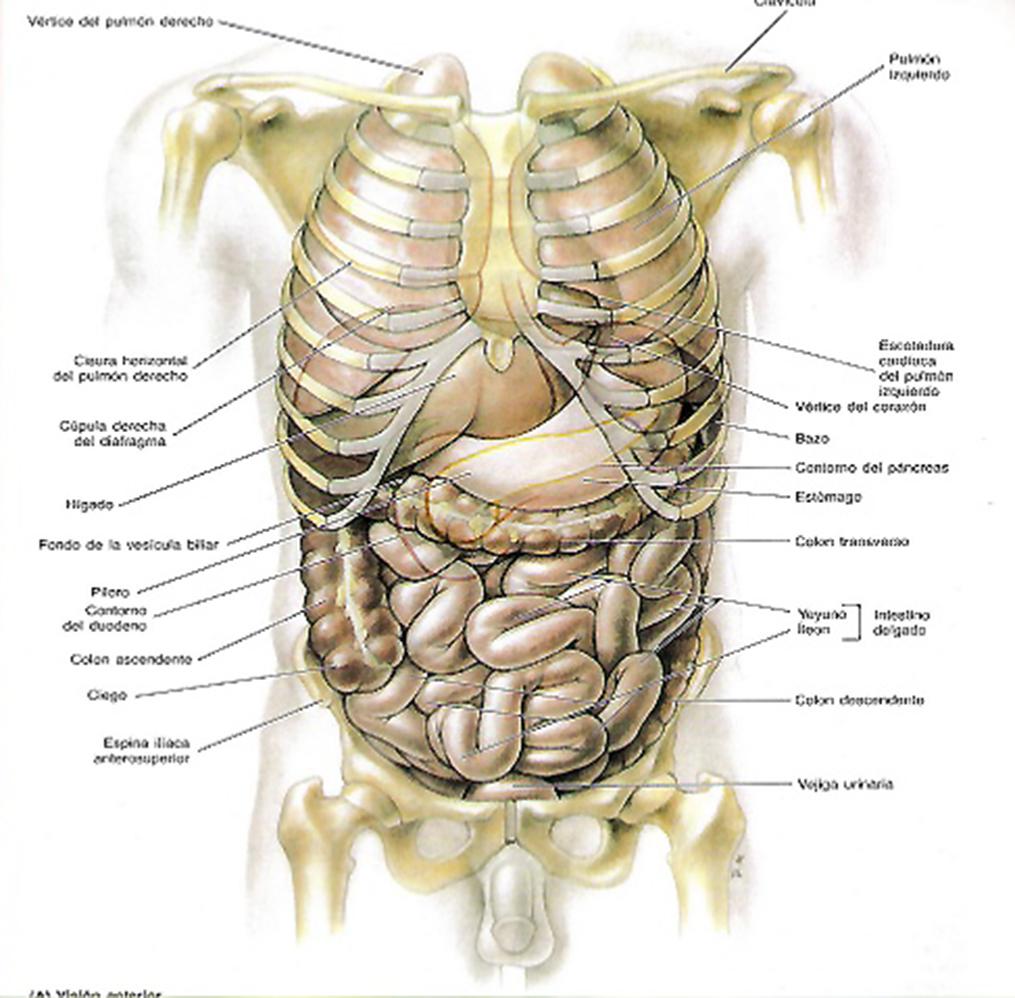 vÍsceras abdominales