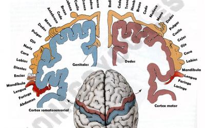 Homúnculo Cerebral